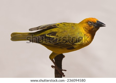 Cape Weaver; Ploceus capensis - stock photo