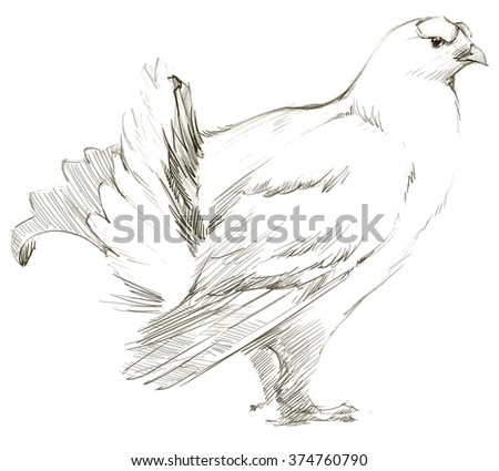 Capercaillie bird. Capercaillie pencil sketch. Animal sketch Capercaillie