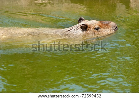 Capibara swimming in peruvinan amazonia. (Hydrochoerus hydrochaeris) - stock photo