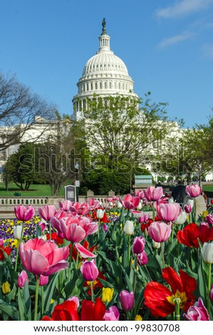 Capitol Building in Washington DC with tulips foreground in spring - stock photo