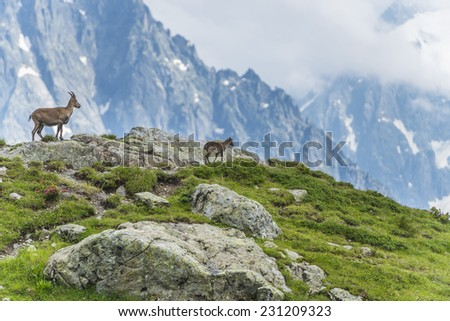 Capra Ibex on a rock, Mont Blanc, France