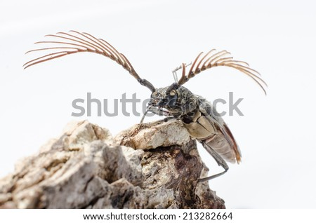Capricorn beetle (long-horned, longicorn) Batocera rufomaculata in thailand, on white background.  - stock photo