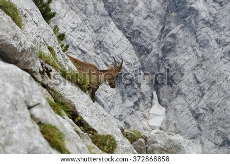 Capricorn in the mountains, Julian Alps