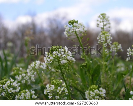 Capsella rubella shepherdspurse white small flowers stock photo capsella rubella shepherds purse white small flowers on the lawn green white mightylinksfo