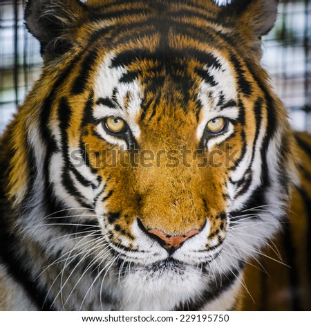 Captive Amur Tiger at the Zoo - stock photo
