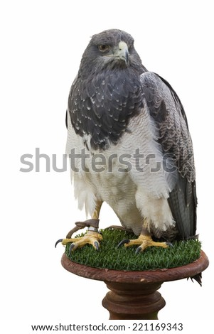 Captive Eagle and isolated on white background on one column of wood