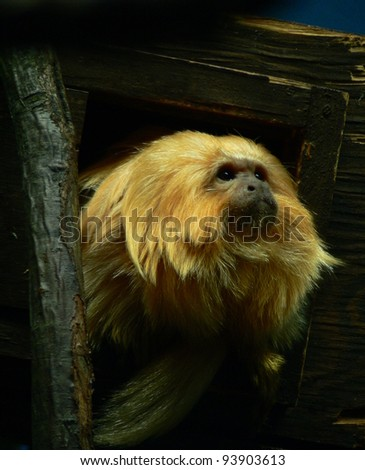 Captive golden lion tamarin peering out of his enclosure.