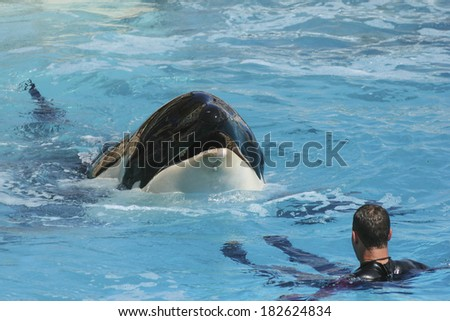 Captive Killer Whale with Trainer - stock photo