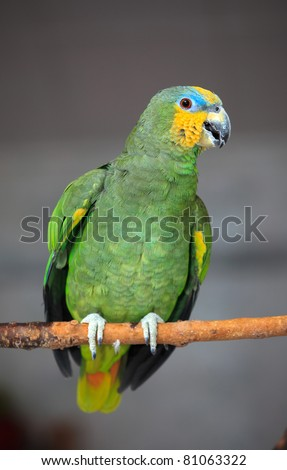 Captive Orange-winged Amazon parrot