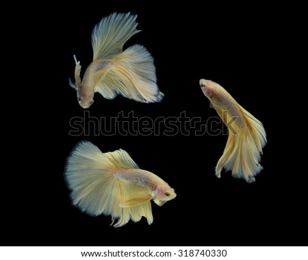 Capture the moving moment of colorful siamese fighting fish isolated on black background. Betta fish