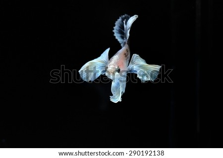 Capture the moving moment of elephant ear fighting fish    on black background