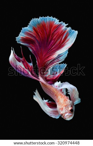 Capture the moving moment of red siamese fighting fish isolated on black background. Betta fish
