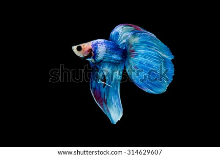 Capture the moving moment of siamese fighting fish isolated on black background