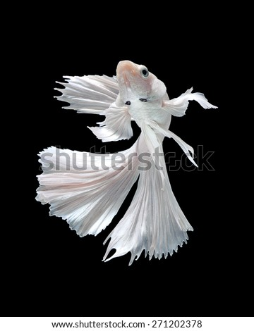 Capture the moving moment of white siamese fighting fish isolated on black background. Dumbo betta fish - stock photo
