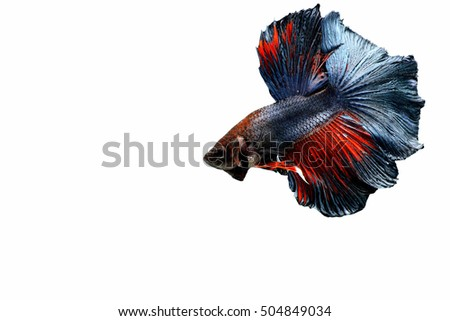 Capture the moving moment of white siamese fighting fish isolated on white background, Betta splendens,Gifts for Arabs,Thailand Culture be alive,Gifts for Europeans
