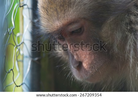 Captured snow monkey-Macaca fuscata on April 29, 2013 in CHIBA/Japan.