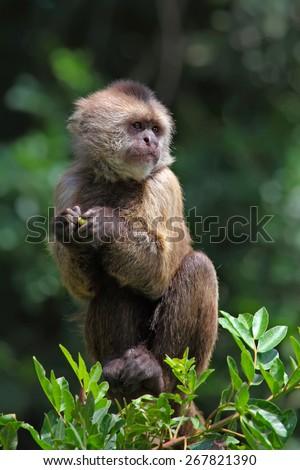 capuchin monkey - stock photo