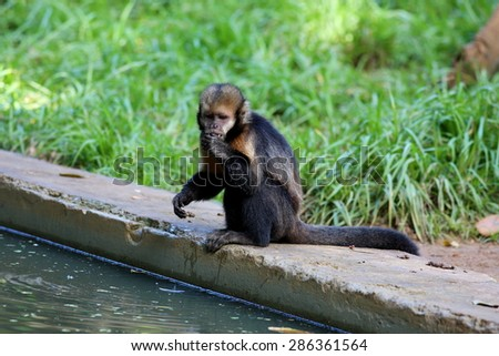 capuchin monkey at the lakeside - stock photo