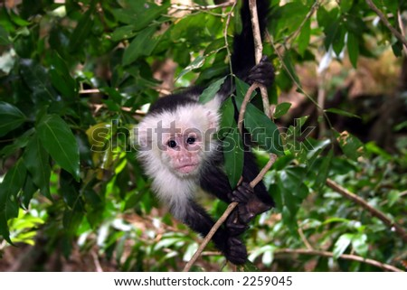 capuchin monkey in tree - stock photo