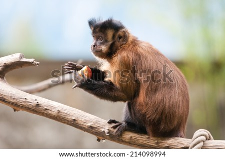 capuchin monkey sitting on a tree branch eating an apple - stock photo