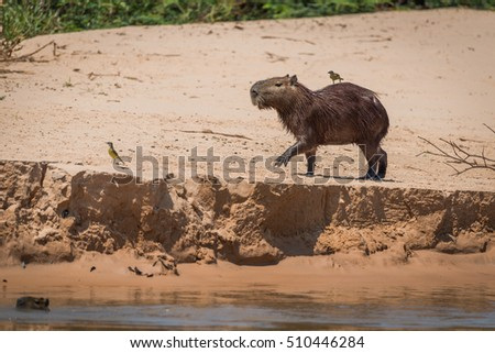 Capybara crossing sand with bird on back