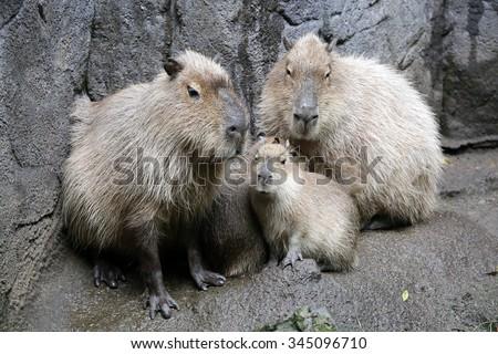 Capybara family - stock photo