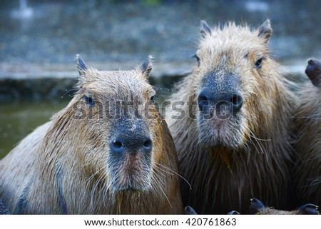 capybara family in hot springs onsen