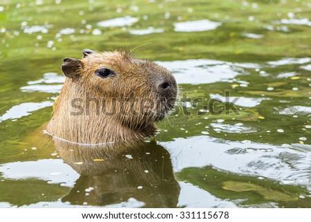 Capybara(Hydrochoerus hydrochaeris) - stock photo