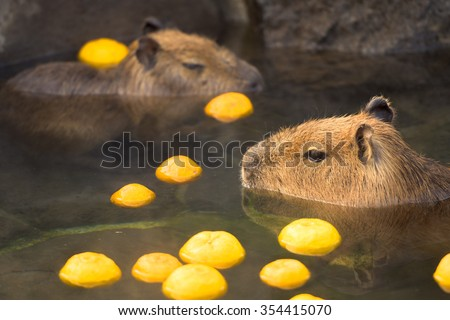 Capybara(Hydrochoerus hydrochaeris) in hot citron bath. - stock photo