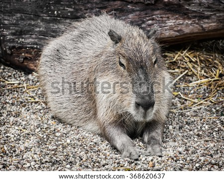 Capybara (Hydrochoerus hydrochaeris) is a large rodent of the genus Hydrochoerus of which the only other extant member is the lesser capybara (Hydrochoerus isthmius). Animal portrait.