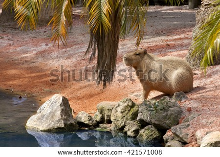 Capybara (Hydrochoerus hydrochaeris) is the largest rodent in the world and is native to South America - stock photo