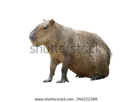 capybara ( hydrochoerus hydrochaeris ) isolated on white background