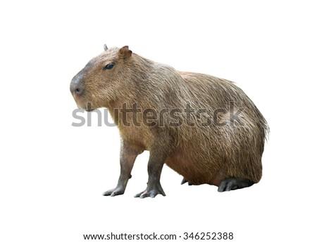 capybara ( hydrochoerus hydrochaeris ) isolated on white background - stock photo