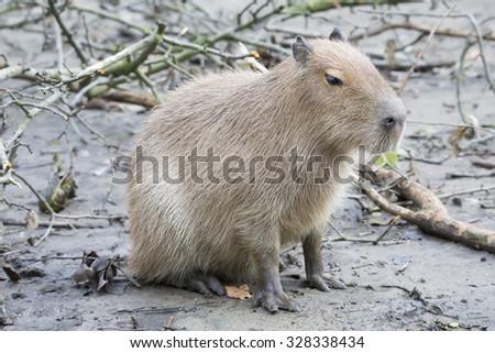 Capybara, Hydrochoerus hydrochaeris, the largest rodent - stock photo
