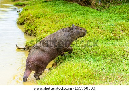 Capybara (Hydrochoerus hydrochaeris), the largest rodent in the world, jumps out of the water - stock photo