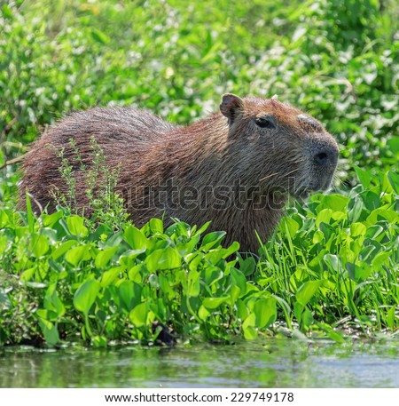 Capybara in the El Cedral - Los Llanos, Venezuela, Latin America - stock photo