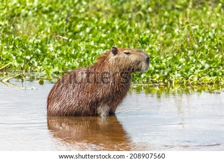 Capybara in the El Cedral - Los Llanos, Venezuela, South America - stock photo