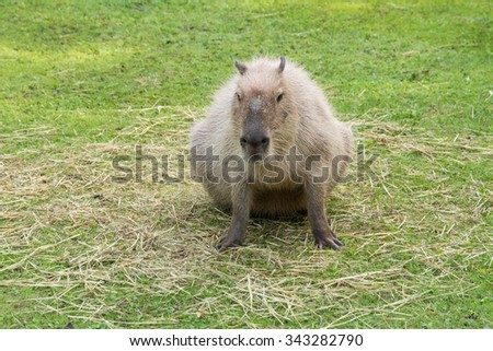 Capybara in the meadow - stock photo
