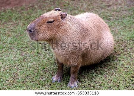 capybara is sitting on ground - stock photo