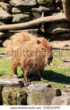 Capybara portrait - stock photo