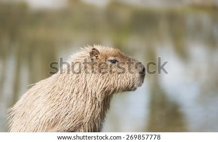Capybara - portriat of this intelligent semi-aquatic mammal - stock photo