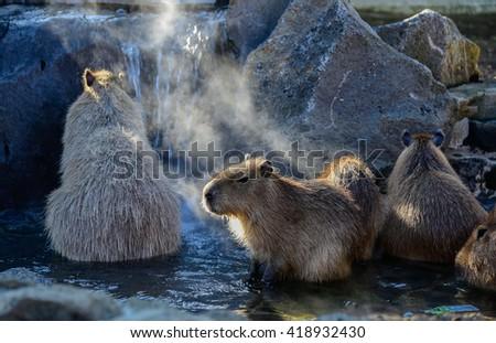 Capybaras enjoying hot spring - stock photo