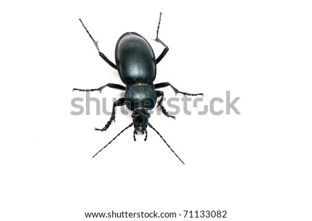 Carabus glabratus, a ground beetle isolated on white background - stock photo