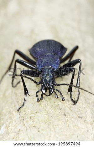 Carabus intricatus / the blue ground bettle - stock photo