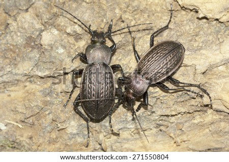 Carabus ulrichii / two male ground beetle  - stock photo