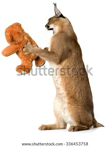 Caracal Attacking a Stuffed Toy - Isolated - stock photo