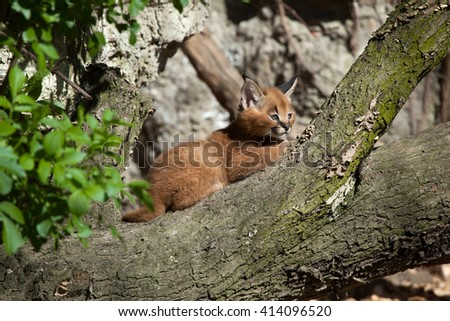 Caracal (Caracal caracal) kitten. Wild life animal.  - stock photo