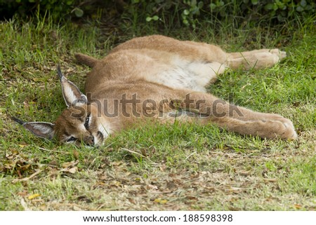 Caracal cat lying and resting in the shade of a large tree - stock photo