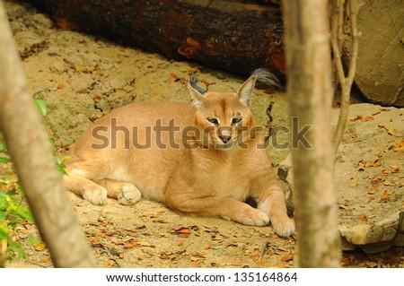 Caracal in South Africa, (Felis caracal) - stock photo