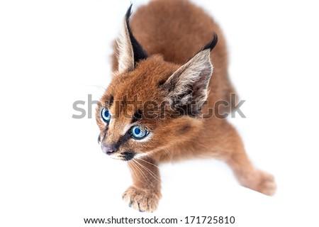 Caracal Kitten - stock photo